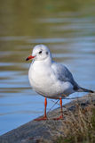 Slender-billed gull in natural habitat - Chroicocephalus genei. The slender-billed gull Larus genei is a mid-sized gull Royalty Free Stock Photography