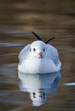 Slender-billed gull in natural habitat - Chroicocephalus genei. The slender-billed gull Larus genei is a mid-sized gull Stock Photography