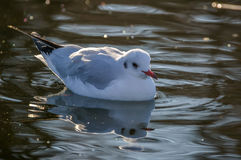 Slender-billed gull in natural habitat - Chroicocephalus genei. The slender-billed gull Larus genei is a mid-sized gull Royalty Free Stock Photo