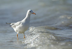 Slender-billed Gull Royalty Free Stock Image