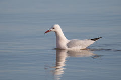 A Slender billed Gull swimming with reflection Royalty Free Stock Image