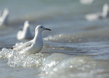 Slender-billed Gull and wave of sea Stock Photography