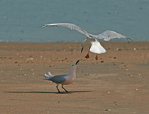 Slender-billed Gulls arguing Stock Image