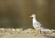 The slender-billed seagull in the golden light Royalty Free Stock Image