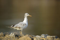 The slender-billed seagull in the morning light Royalty Free Stock Images
