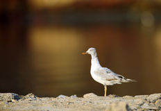 The slender-billed seagull Stock Photo
