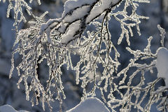 Slender birch branches covered in snow. Slender birch brances covered in snow in sunshine royalty free stock photos