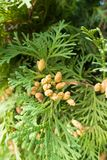 Slender seed cones of Thuja occidentalis. Slender brown seed cones of Thuja occidentalis Stock Photo