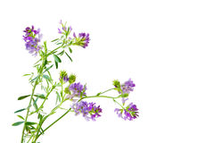 Slender Bush Clover Stock Photos