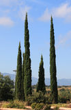 The slender cypresses. Slender cypresses, growing beside the road stock photos