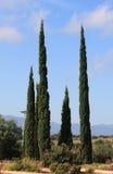 The slender cypresses Stock Photos