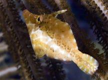 Slender Filefish. Monacanthus tuckeri, picture taken in southeast Florida Royalty Free Stock Photography