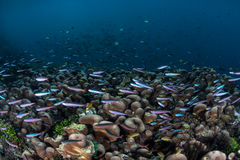 Slender Fusiliers and Coral Reef Stock Photography