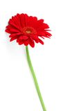 Slender Gerbera On White Stock Image