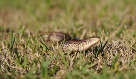 Slender Glass Lizard Stock Images