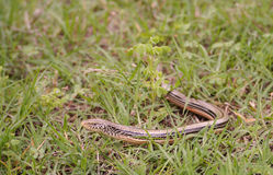 Slender glass lizard Stock Photography