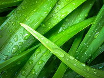 Slender Green Leaves Closeup Dew Royalty Free Stock Image