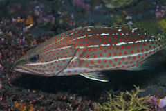 Slender grouper. In the coral reef stock photography