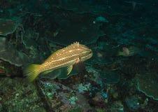 Slender grouper Stock Image