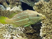 Slender grouper in Maldives Stock Photo