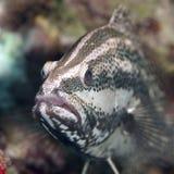 Slender grouper Stock Photos