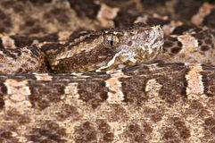 Slender Hognosed viper Stock Photography