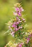 Slender Lespedeza flowers Royalty Free Stock Photography