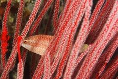 Slender maori wrasse - Oxycheilinus orientalis Stock Photography