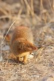 Slender Mongoose Royalty Free Stock Image