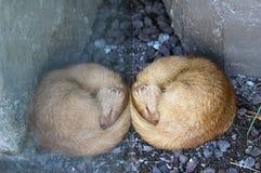 Slender mongoose Stock Images