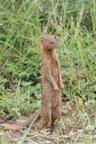 Slender mongoose Stock Images
