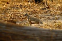 Free Slender Mongoose Royalty Free Stock Image - 43537906