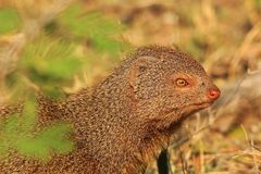 Slender Mongoose - African Wildlife Background - Colors in Nature Royalty Free Stock Photography