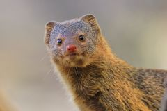 Slender Mongoose - African Wildlife Background - Curious and Cute Stock Image