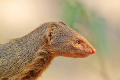 Slender Mongoose - African Wildlife Background - Focus and Color Royalty Free Stock Photos