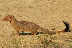 Slender Mongoose - African Wildlife Background - Portrait of a Scavenger Royalty Free Stock Image