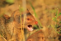 Slender Mongoose - African Wildlife Background - Sharpest Teeth Royalty Free Stock Photos