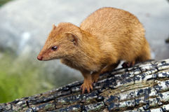 Slender Mongoose Stock Photo