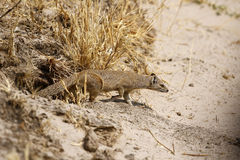 Slender Mongoose Stock Image