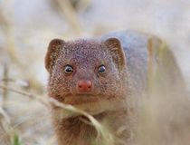 Slender Mongoose - Close inspection Stock Image