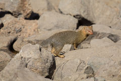 Slender mongoose forage and look for food at  rocks Stock Photo