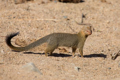 Slender mongoose forage and look for food at  rocks Royalty Free Stock Photo