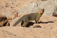 Slender mongoose forage and look for food at  rocks Royalty Free Stock Image