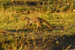 Slender Mongoose. The Slender Mongoose, Galerella sanguiea, also known as the black tipped or black tailed mongoose Royalty Free Stock Photos