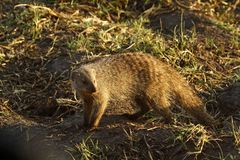 Slender Mongoose. The Slender Mongoose, Galerella sanguiea, also known as the black tipped or black tailed mongoose Royalty Free Stock Image