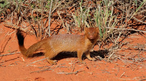 Slender mongoose Royalty Free Stock Photography