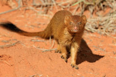 Slender mongoose Royalty Free Stock Photos