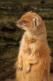 Slender mongoose Royalty Free Stock Images