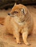 Slender mongoose... Royalty Free Stock Images