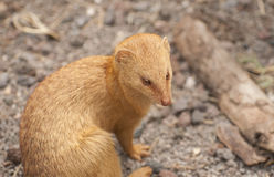 Slender mongoose Stock Image